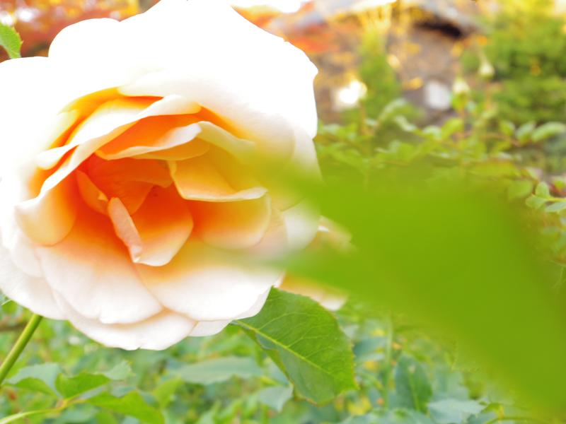 旧古河庭園の薔薇園