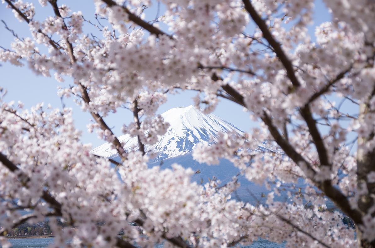 春桜の富士
