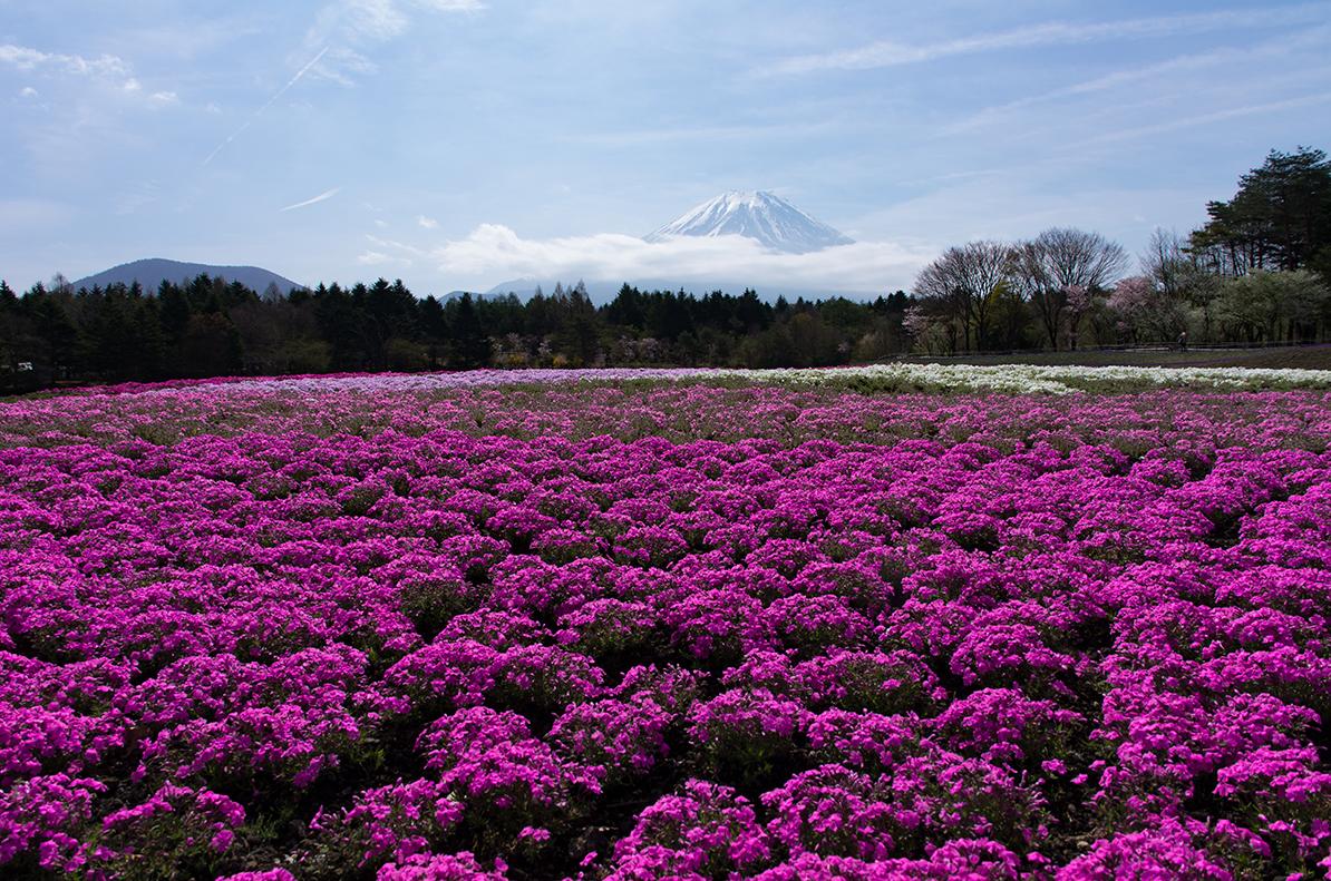 芝桜越しの富士山