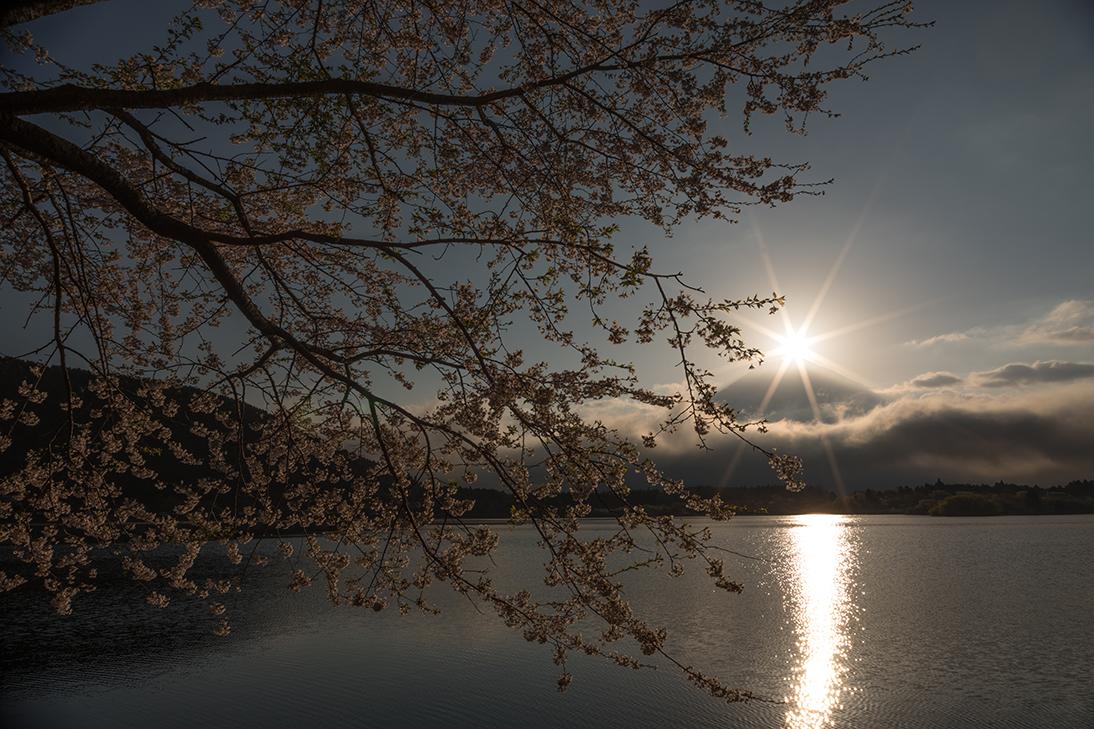 耀く桜への煌きに