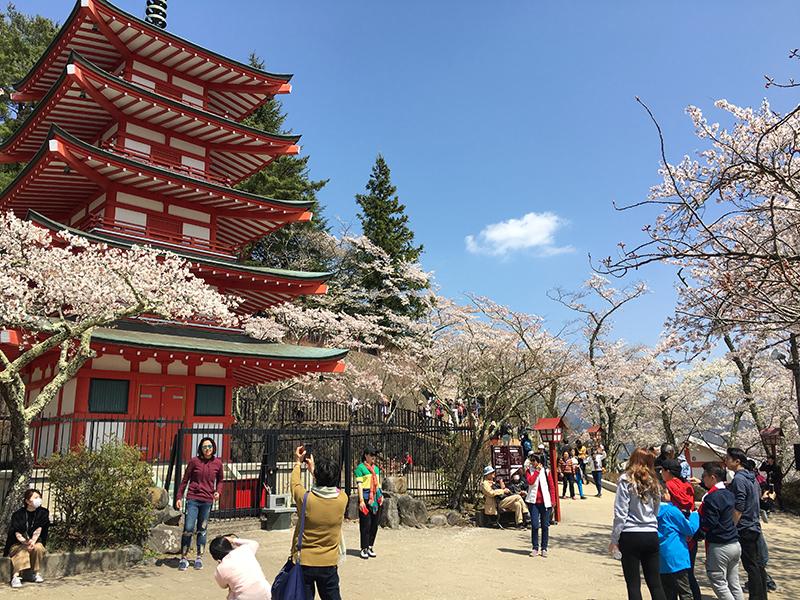 激戦区の新倉山浅間公園桜まつりへ撮影遠征!